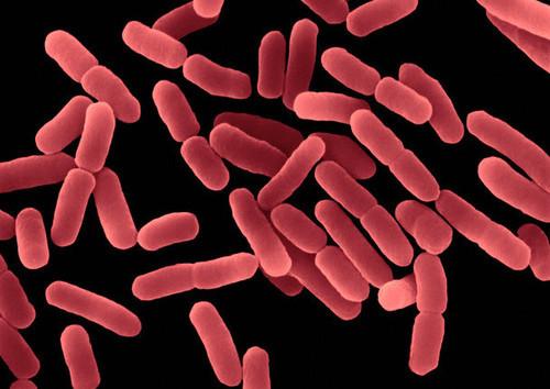 bacillus -subtillus.jpg
